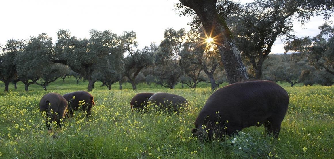 Bellotas, alimento valioso para el cerdo ibérico