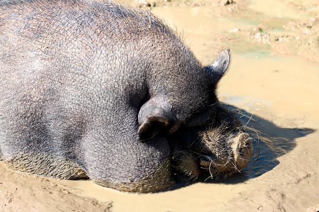 ¿Por qué los cerdos ibérico se revuelcan en el barro?