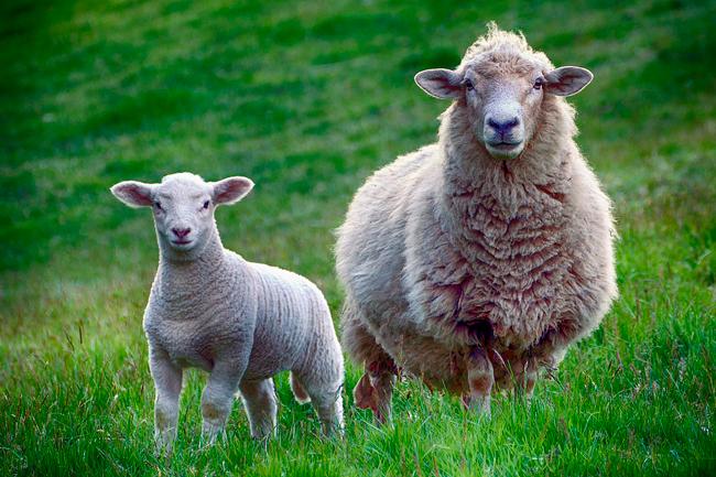 Beneficios de comer queso de oveja